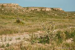 On the Santa Fe Trail (frank thompson photos) Tags: cimarronnationalgrasslandskansas kansas santafetrail thistle americanhistory ushistory usa grasslandspreserve nikon landscape arid dry prairie grassland d70