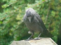 I've Got My Eye on You (Smabs Sputzer) Tags: bird crow corvid eye back garden