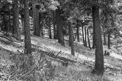 Ponderosa Pine Slope 2 BW (Don Thoreby) Tags: forest canyon cascades washingtonstate slopes cascademountains cascaderange aspentrees ponderosapine cleelumriver suncadiaresort cleelumrivervalley