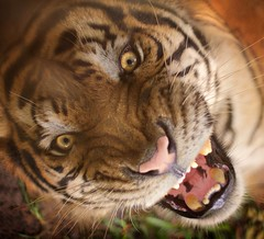 Ferocious beastly tiger! (wasif.reza) Tags: bangladeshi wildlife nature tiger d3200