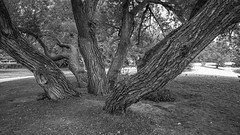 My favourite tree (KWPashuk) Tags: samsung galaxy note5 lightroom kwpashuk kevinpashuk trees trunk textures monochrome mono bw bronte beach oakville ontario canada nature outdoors