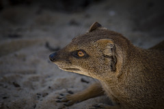 Ahhh... I love the shade (yasjooni) Tags: nikon nikond3200 d3200 photography colour mongoose wildlife animal outdoor mammal