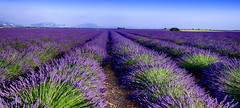 Parfum Lavande......... (Malain17) Tags: lavender provence france paysage landscape fleurs sillons colors photography photographers pentax perspective sky flickr image nature tourism travel fields