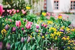 blumen (ivvy million) Tags: flowers koblenz spring ivvymillion blumen tulpen tulips city germany rheinlandpfalz rhinelandpalatinate rlp blumenbeet mittelrheintal mittelrhein deutschland europe europa nikond7100 35mm frhling