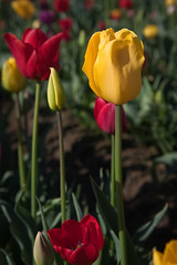 We're Not Alone (ahockley) Tags: nature flowers oregon plants tulipfestival tulips woodburn woodenshoetulipfestival