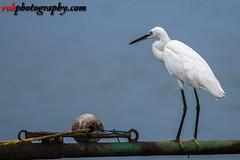 Pulicat Lake Bird Sanctuary, India (rvk82) Tags: 2016 august2016 birdsanctuary birds india nature nikkor200500mm nikon nikond500 photography pulicat pulicatbirdsanctuary pulicatlake rvk rvkphotography raghukumarphotography southindia tamilnadu wildlife rvkphotographycom karimanal andhrapradesh in rvkonlinecom