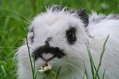 DSC_3434 (mavnjess) Tags: 15 june 2016 vicenza italy italia coniglio coniglios rabbit rabbits bunny bunnies