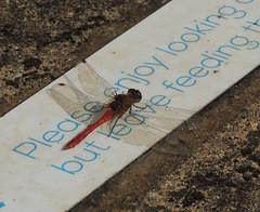 Photo of Dragonfly (ruddy darter, Sympetrum sanguineum?), Sandy, Bedfordshire