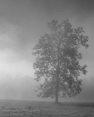 Tree in the Mist (Bridget Calip - Alluring Images) Tags: morning autumn trees horses fog dawn fallcolor meadow valley rollinghills allrightsreserved greatsmokymountains cadescove copyrighted 2014 tenneessee greatsmokymountainsnationalpark bridgetcalip