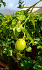 Lemon Tree, Kfar Hananya