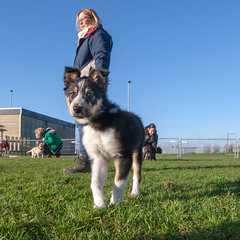 Chip at Puppy Training 3/52 (Bas Bloemsaat) Tags: dog sheepdog bordercollie 52weeksfordogs