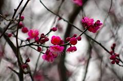 Ume (kana hata) Tags: pink winter flower tree nature japan blossom plum yokohama