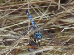 20141207_130934_wm.jpg (Mahendra Rajapurkar) Tags: nature grass fly dragonfly dry cannon sx510