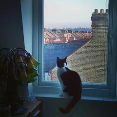 """Anche il nostro #gatto 🐱 Penelope vorrebbe andare in centro: passa ore a guardare lo #skyline di #Londra dalla camera da letto #biancoenero #followme #cieloblu #London #uk #cat #gattoinglese #Sw19 #wimbledon #roofs #case #royalcat • <a style=""""font-size:0.8em;"""" href=""""http://www.flickr.com/photos/8364105@N02/15825895050/"""" target=""""_blank"""">View on Flickr</a>"""