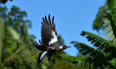 DSC_0029 (RUMTIME) Tags: bird nature birds fly flying flight feathers feather queensland coochie coochiemudlo