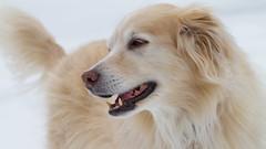 Miesha (Padrone) Tags: beautiful smile goldenretriever explore 5bestdogs pyrenees miesha pyr smileofadog