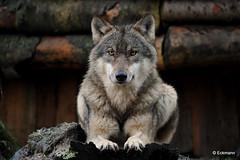 Wolf (Nephentes Phinena ☮) Tags: wolf europeangreywolf wildparkeekholt grauwolf europäischergrauwolf