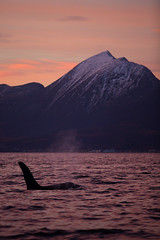 Killer Whale (niklasphoto.se) Tags: ocean winter norway canon norge val whale orca killerwhale 70200mm tromsö valsafari 5dmark3