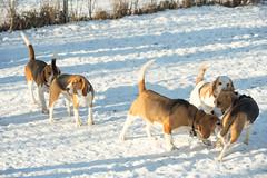 IMG_5948.jpg (peterrinzner) Tags: beagle sterreich niedersterreich biedermannsdorf beaglewiese bravebradleyvombrigittenauerforst