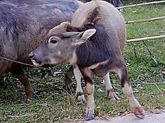 I'm outta here - Ubon Thailand (jcbkk1956) Tags: animals thailand buffalo cows farms issan ubonratchathani