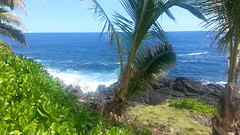 Coconut Palm, Sea, & Lava Coast (yogi1ab) Tags: sea hawaii coconutpalm puna lavacoast