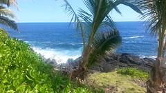 Coconut Palm, Sea, & Lava Coast (yogi1ab) Tags: sea hawaii coconutpalm puna lavacoast