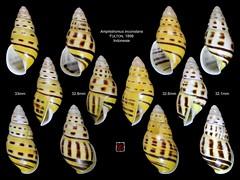 amphidromus inconstans Indonesie planche (MALACOLLECTION Landshells Sladkovodní Plži) Tags: Indonésie Indonesie lessersundaislands camaenidae alorisland amphidromus camaeninae alorarchipelago amphidromusinconstans