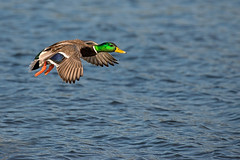 mallard (lee barlow) Tags: canada nikon britishcolumbia vancouverisland mallard victoriabc birdsofbritishcolumbia leebarlow birdsofnorthamerica
