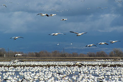 more snow (champbass2) Tags: usa geese wildlife birdsinflight migration waterfowl refuge snowgeese buttecounty pacificflyway calfiornia floodedricefields champbass2 wintermigration