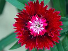 Cravina. (MoniQue Peres) Tags: flower nature natureza flor dianthus vermelha redflower chinensis cravo dianthuschinensis florvermelha cravina