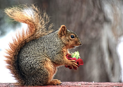a squirrel Valentine (LotusMoon Photography) Tags: winter flower cute animals backyard squirrels funny sweet wildlife valentine