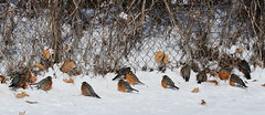 IMG_4495-1 American Robins (John Pohl2011) Tags: bird canon john 100400mm pohl perching t4i 100400mmlens canont4i