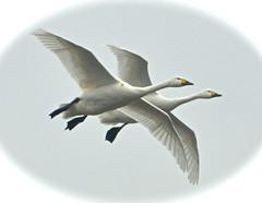 IN FLIGHT (chris .p) Tags: winter nikon flight gloucestershire swans trust february wwt slimbridge wildfowl 2015 d610