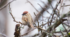 Little sparrow (yuli_ko) Tags: winter cold bird nature sparrow