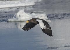 Just Passing By  (Alpha 2008) Tags: winter sea ice birds japan hokkaido pacific eagle wildlife sony birding   alpha       stellersseaeagle