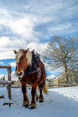 Srie Hiver (5) (fjozon) Tags: horse mountain snow montagne cheval fujifilm neige manualfocus lozre manuallens suddefrance olympuszuiko28mm fjozon fujifilmxe2 fujiclub