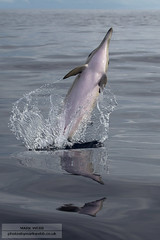 Short-beaked common dolphin (Delphinus delphis) (photosbymarkwebb) Tags: sea reflection dolphin calm dolphins pico short common leaping breaching azores spalsh delphinusdelphis shortbeakedcommondolphin breaked