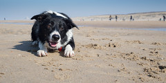 Mac Loves The Beach (Bas Bloemsaat) Tags: dog beach sheepdog bordercollie katwijk