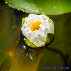 100 Days of Summer #41 - Water Lily (elviskennedy) Tags: ocean birthday flowers sea summer white lake macro green leaves yellow closeup wisconsin zeiss america river hair leaf pond underwater waterlily lily lotus herbs outdoor sony scenic pad elvis floating surface victoria drop petal lilies stamen bloom latex droplet flowering bisexual aquatic submerged solitary lilypad month nymph wi recepticle kennedy nymphaea filament perennial blooming submerge nymphaeaceae castalia nuphar oconto clade kellylake hoticulture rx1 euryale northernblueflag 100daysofsummer wwwelviskennedycom elviskennedy rx1r rx1rii rx1rm2 dscrx1rm2