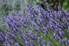 IMG_7791 (ElsSchepers) Tags: limburglavendel lavendelhoeve stokrooie kuringen hasselt natuur vlinders