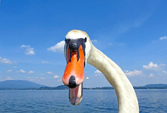DSCN4748 (ermenegildore) Tags: swan cigno uccelli bird macro nature natura lagomaggiore sky cielo clouds nuvole