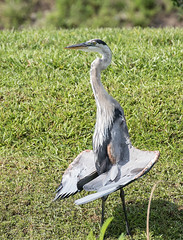 Great Blue Heron (ruthpphoto) Tags: bird heron greatblueheron outdoor animal