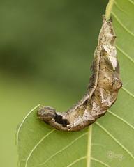 black-blotched schizura (crgillette77) Tags: pennsylvania bradfordcounty caterpillar blackblotchedschizura schizuraleptinoides walnut
