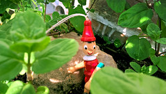 Trololololo (_muscaria_) Tags: pinokio troll gnome garden mint plants red toy makro macro leaves leaf herbs herb nature