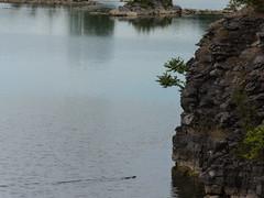 mink swimming to shore (Dave_A_H) Tags: mink wainfleetwetlands nikon d7100 wildlife