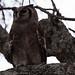 Verreauz's Eagle Owl