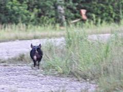 Wild Boar best shot 20160723 (Kenneth Cole Schneider) Tags: florida miramar westbrowardwca