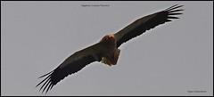IMG_0383-cropegyvul (ryancarter2012) Tags: egyptian vulture menorca cala galdana spain