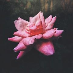 Rosa rumorosa (rvcroffi) Tags: rosa rose flower close macro roseira corderosa flor mextures plant nature natureza