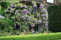 Bakers House - Open Garden in Shipley, Sussex (Mark Wordy) Tags: westsussex wisteria shipley ngs nationalgardensscheme opengarden bakershouse